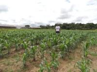 Campus Novo Paraíso realiza colheita de milho na segunda-feira, dia 17